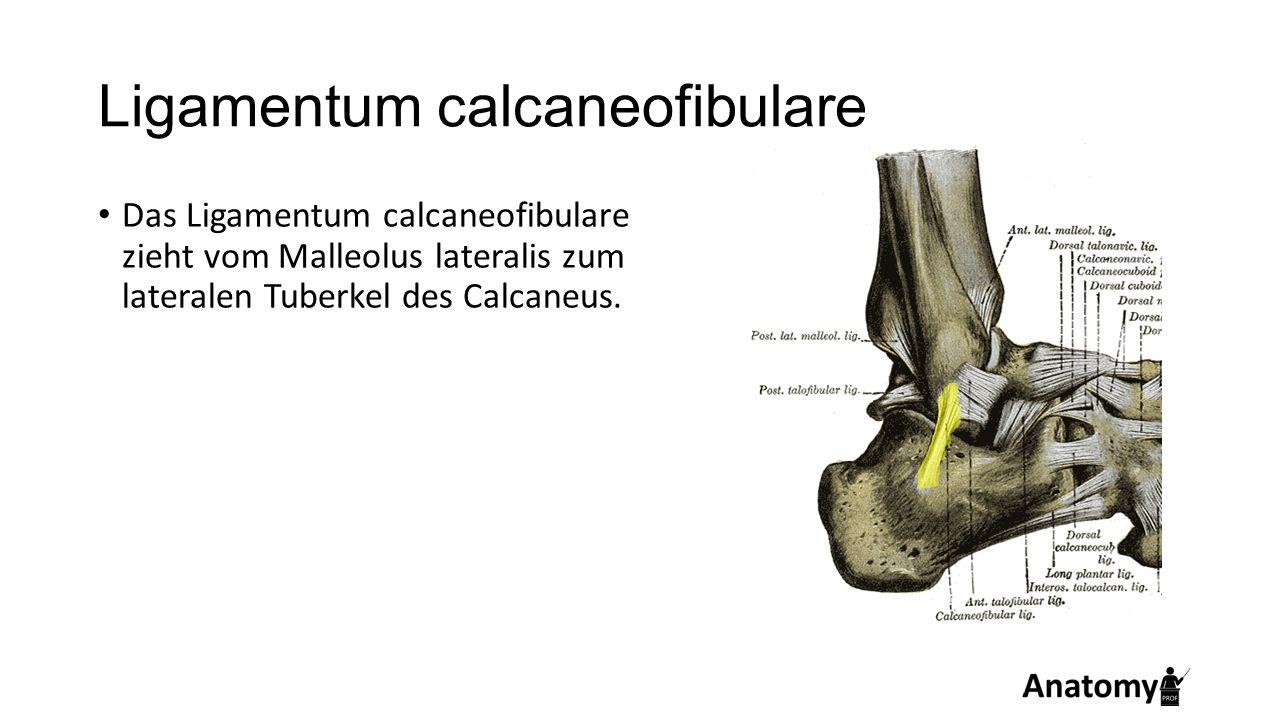 Ligamentum calcaneofibulare