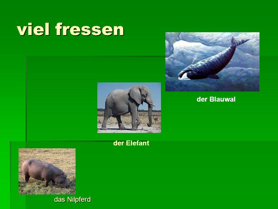 viel fressen der Blauwal der Elefant das Nilpferd