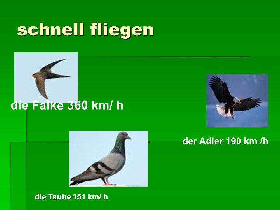 schnell fliegen die Falke 360 km/ h der Adler 190 km /h