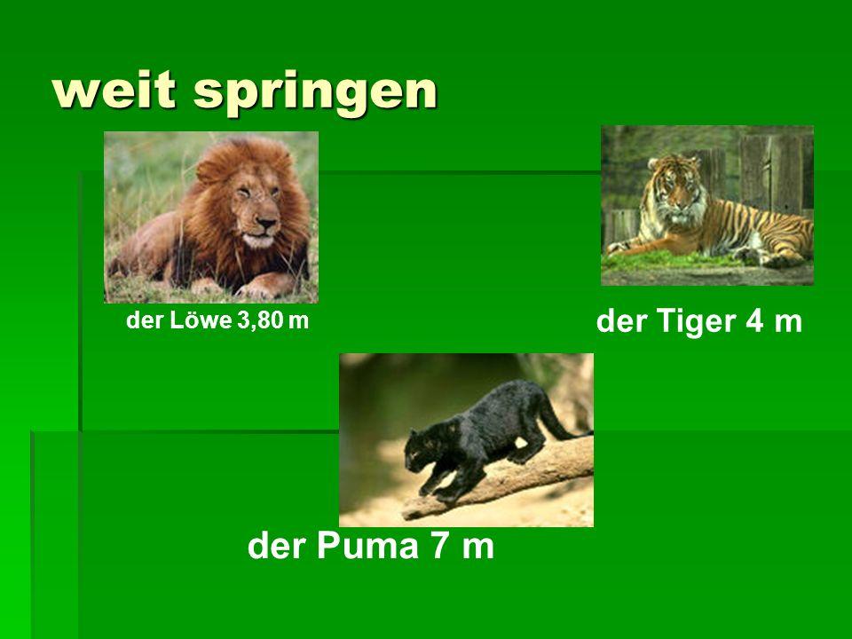 weit springen der Löwe 3,80 m der Tiger 4 m der Puma 7 m