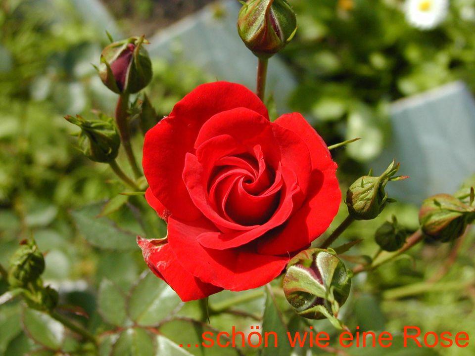 ...schön wie eine Rose