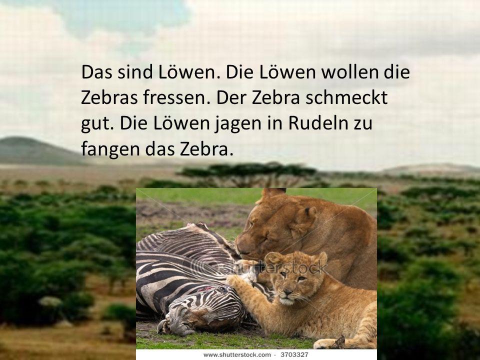 Das sind Löwen. Die Löwen wollen die Zebras fressen