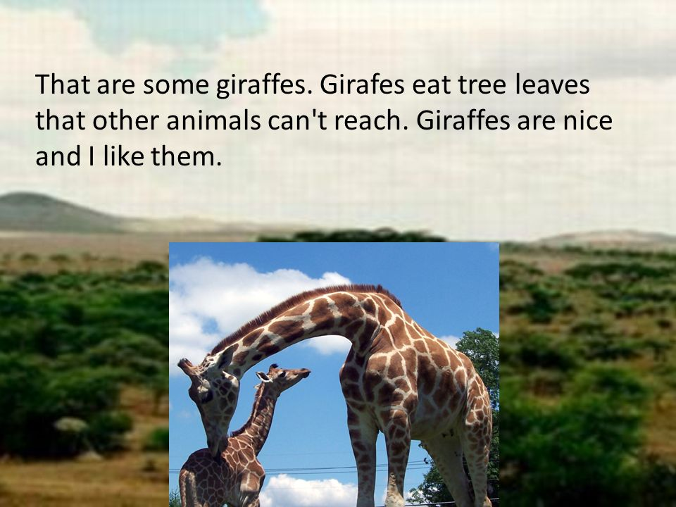 That are some giraffes. Girafes eat tree leaves that other animals can t reach.