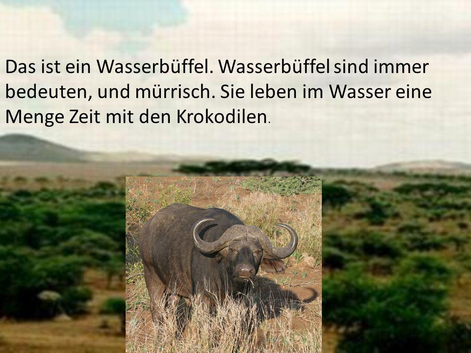 Das ist ein Wasserbüffel