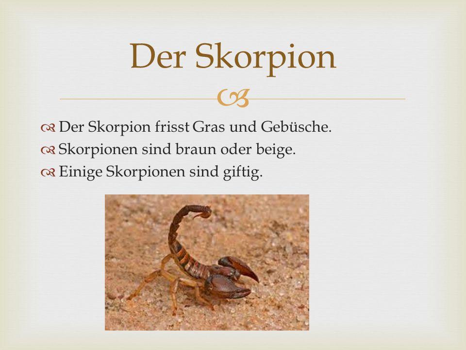Der Skorpion Der Skorpion frisst Gras und Gebüsche.