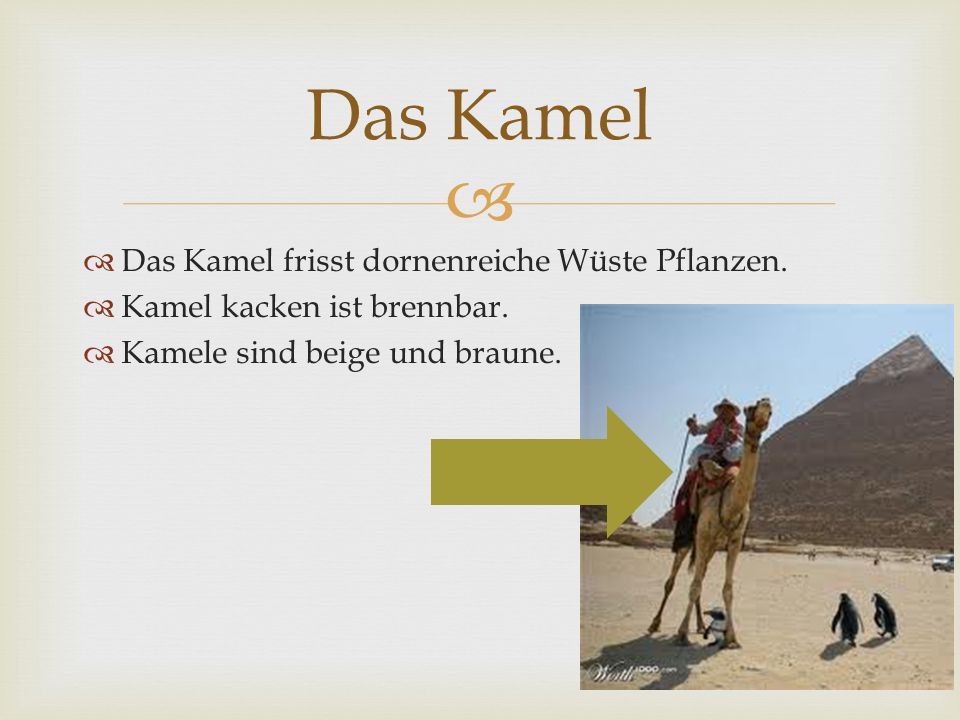 Das Kamel Das Kamel frisst dornenreiche Wüste Pflanzen.