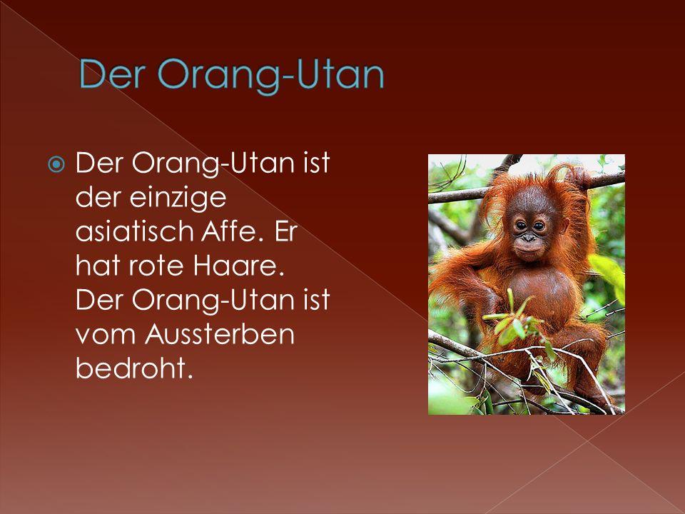 Der Orang-Utan Der Orang-Utan ist der einzige asiatisch Affe.
