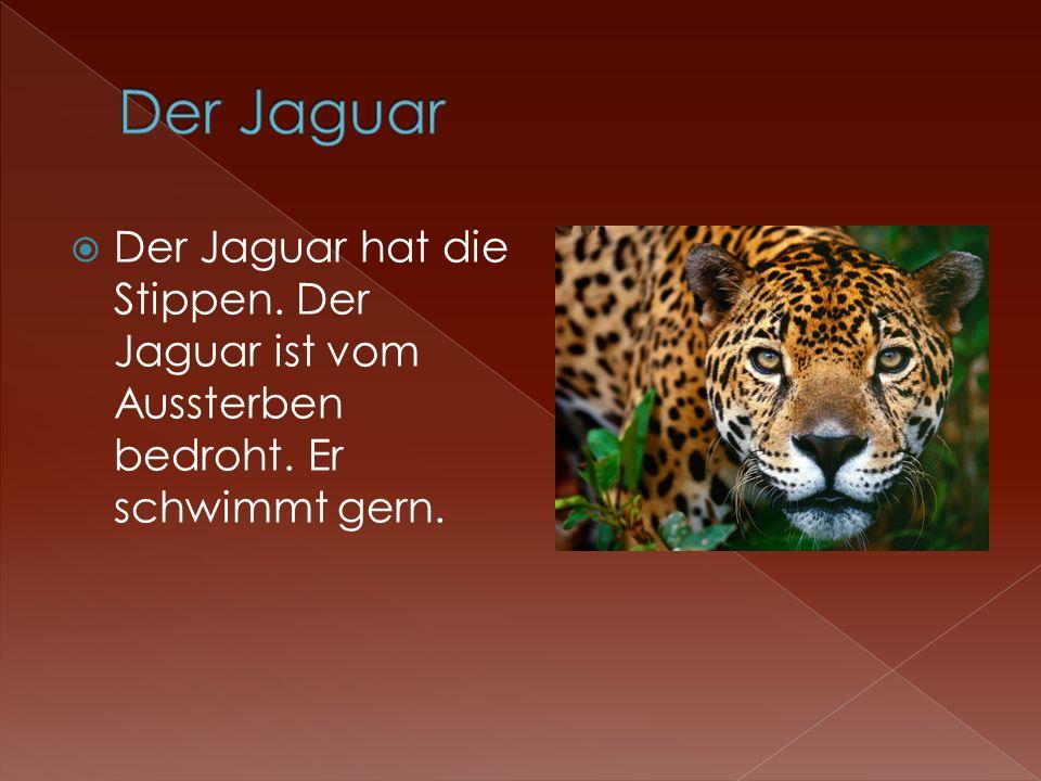 Der Jaguar Der Jaguar hat die Stippen. Der Jaguar ist vom Aussterben bedroht. Er schwimmt gern.
