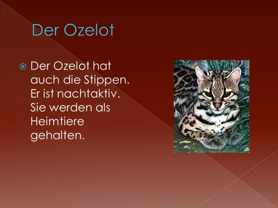 Der Ozelot Der Ozelot hat auch die Stippen. Er ist nachtaktiv. Sie werden als Heimtiere gehalten.