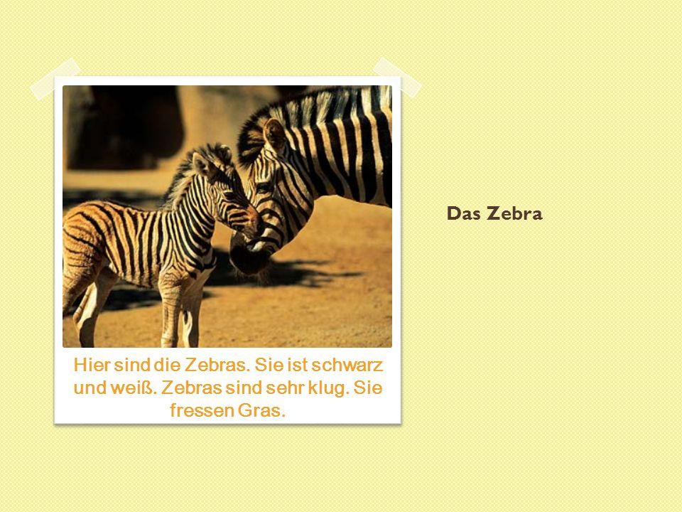 Das Zebra Hier sind die Zebras. Sie ist schwarz und weiß. Zebras sind sehr klug. Sie fressen Gras.