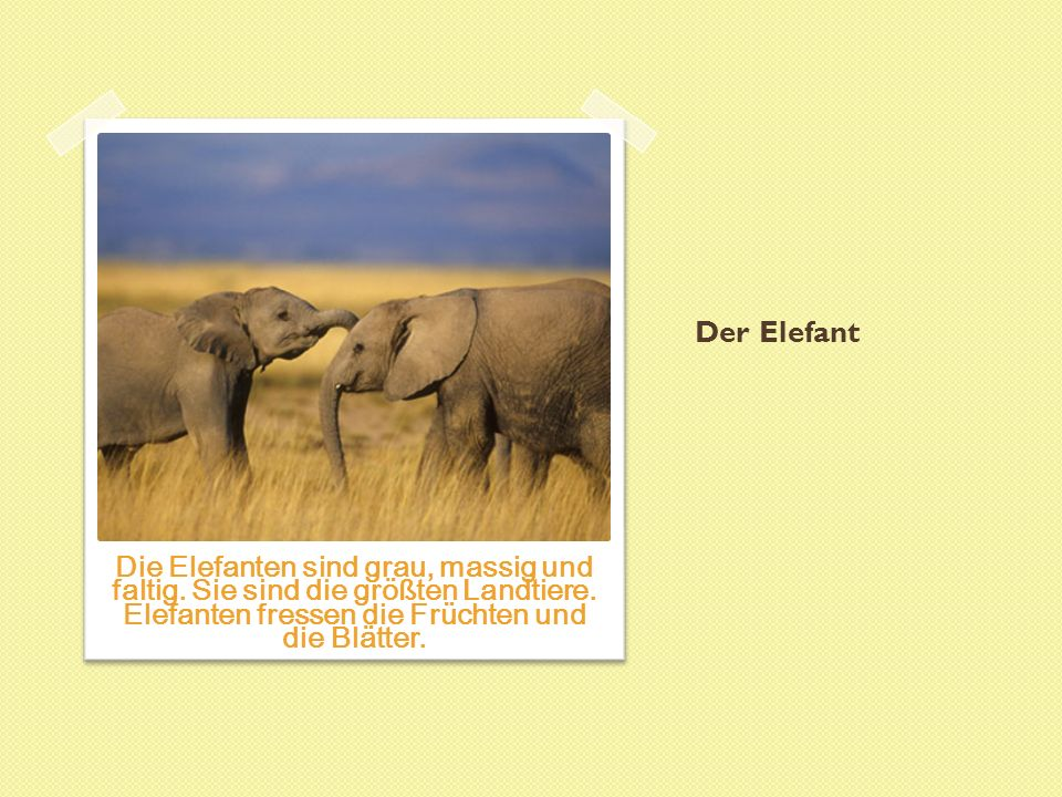 Der Elefant Die Elefanten sind grau, massig und faltig.