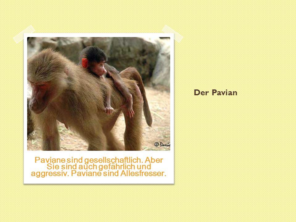Der Pavian Paviane sind gesellschaftlich. Aber Sie sind auch gefährlich und aggressiv.
