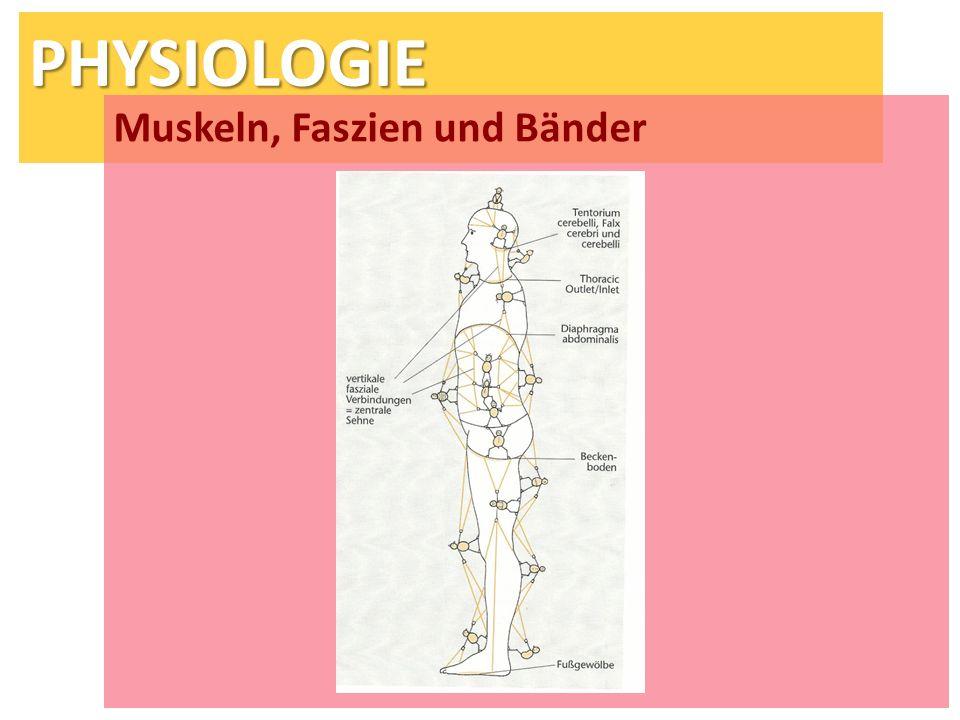 Muskeln, Faszien und Bänder
