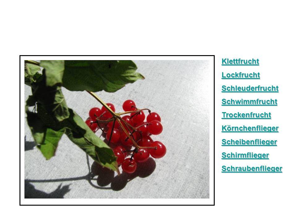 KlettfruchtLockfrucht. Schleuderfrucht. Schwimmfrucht. Trockenfrucht. Körnchenflieger. Scheibenflieger.