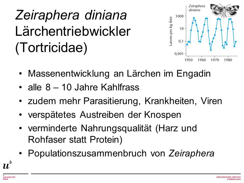 Zeiraphera diniana Lärchentriebwickler (Tortricidae)