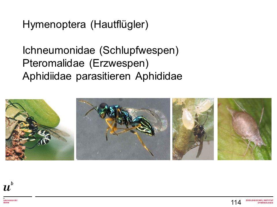 Hymenoptera (Hautflügler) Ichneumonidae (Schlupfwespen) Pteromalidae (Erzwespen) Aphidiidae parasitieren Aphididae