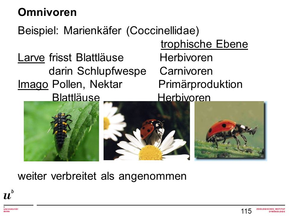 Beispiel: Marienkäfer (Coccinellidae) trophische Ebene