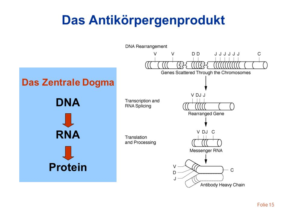 Das Antikörpergenprodukt