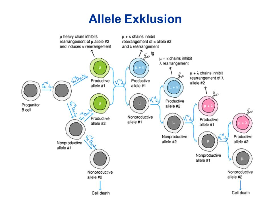 Allele Exklusion