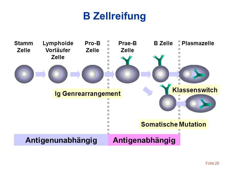 B Zellreifung Antigenunabhängig Antigenabhängig Klassenswitch