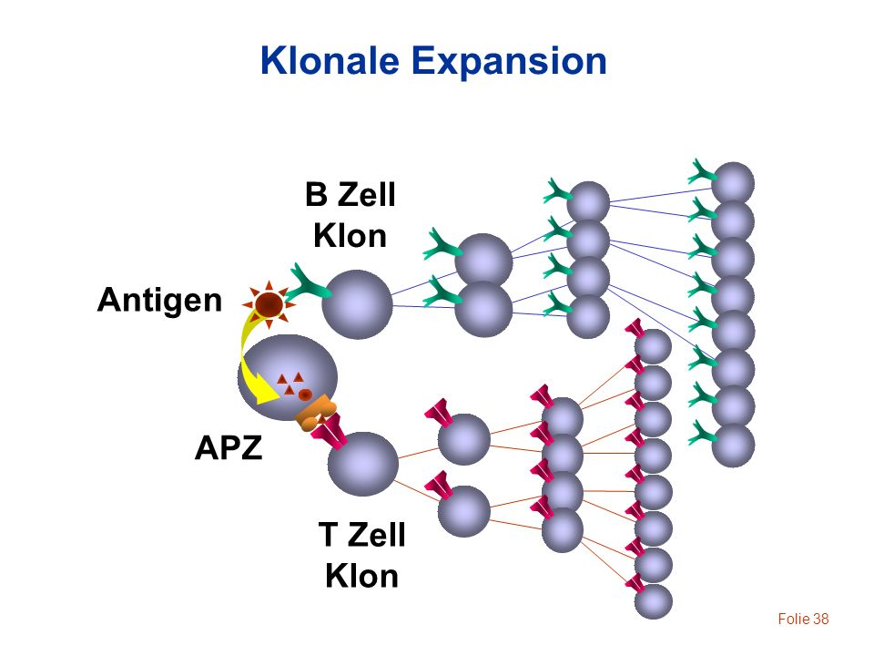 Klonale Expansion B Zell Klon Antigen APZ T Zell Klon