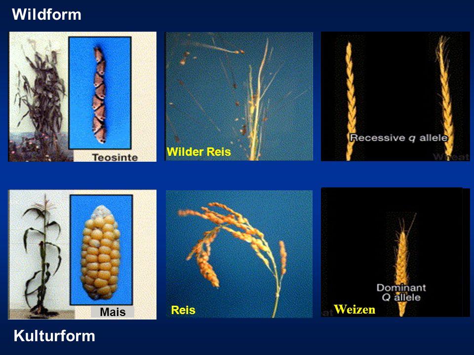 Wildform Wilder Reis Reis Weizen Mais Kulturform