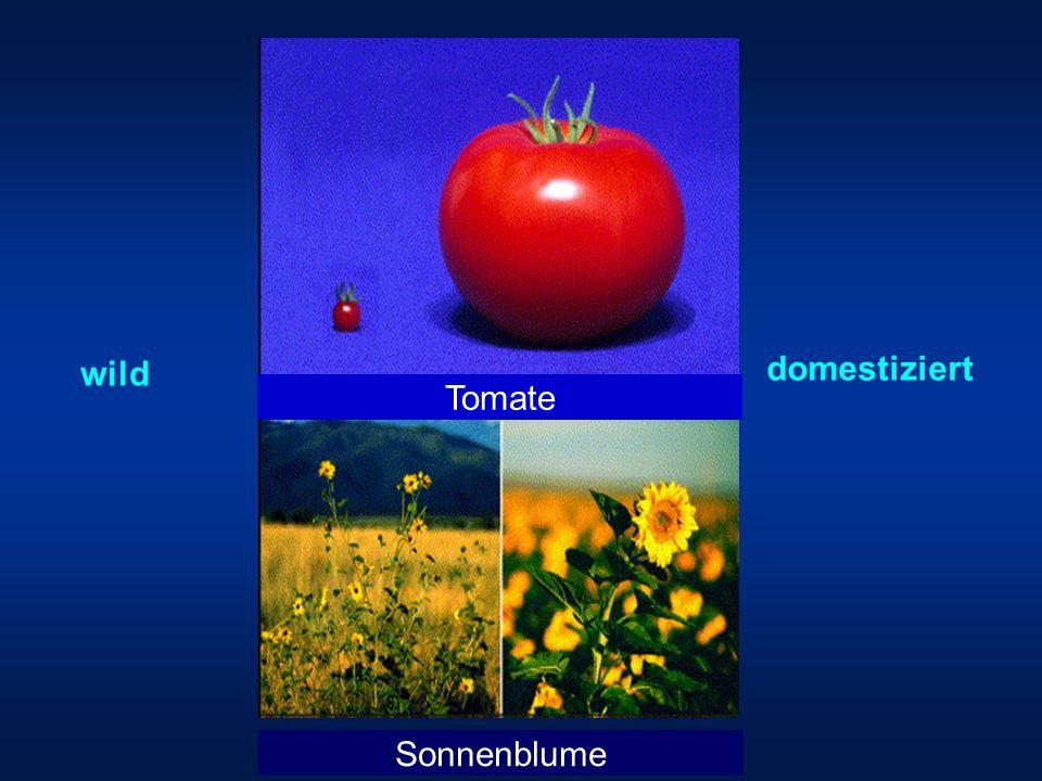 wild domestiziert Tomate Sonnenblume