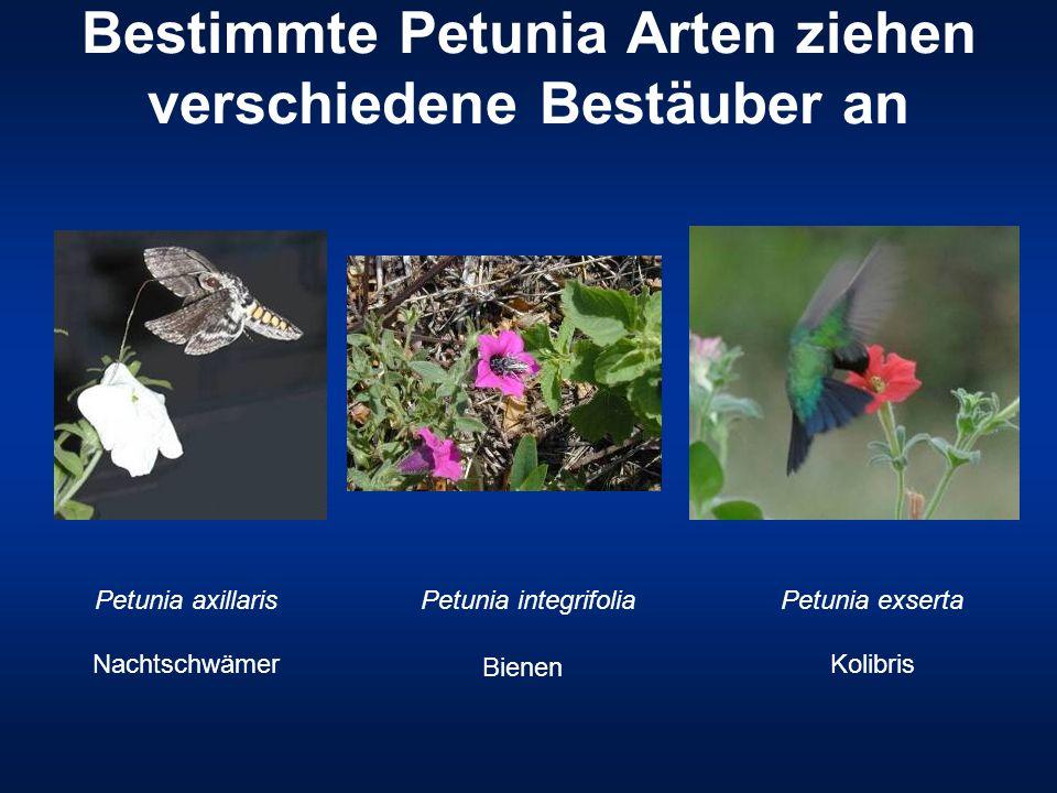 Bestimmte Petunia Arten ziehen verschiedene Bestäuber an