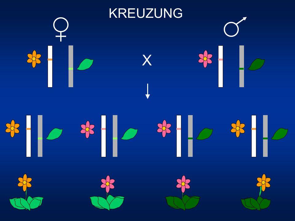 KREUZUNG + X