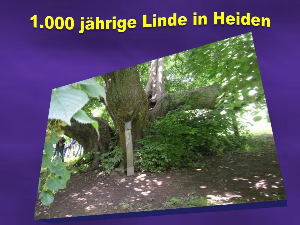 1.000 jährige Linde in Heiden
