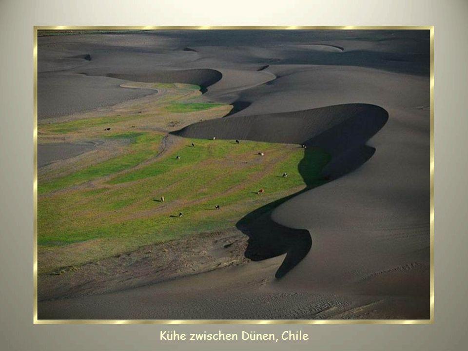 Kühe zwischen Dünen, Chile