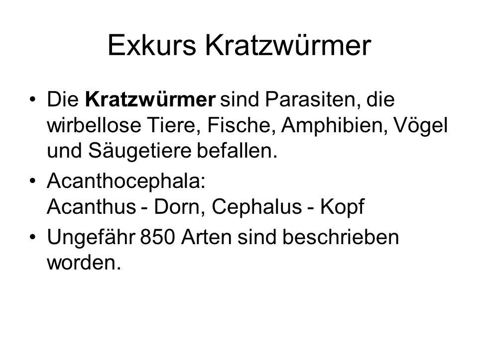 Exkurs KratzwürmerDie Kratzwürmer sind Parasiten, die wirbellose Tiere, Fische, Amphibien, Vögel und Säugetiere befallen.