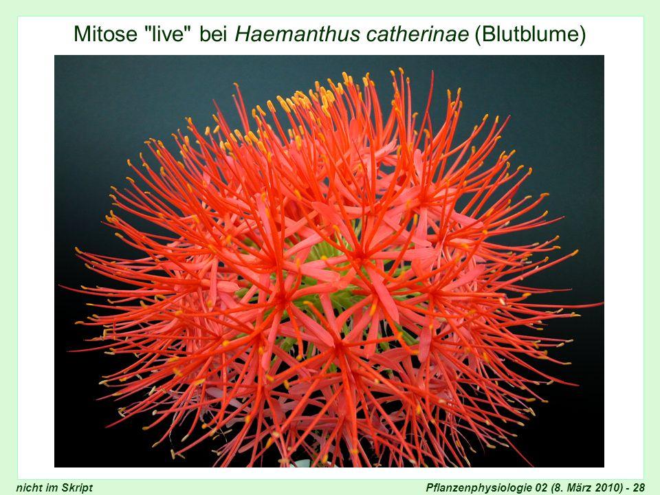 Mitose live bei Haemanthus catherinae (Blutblume)