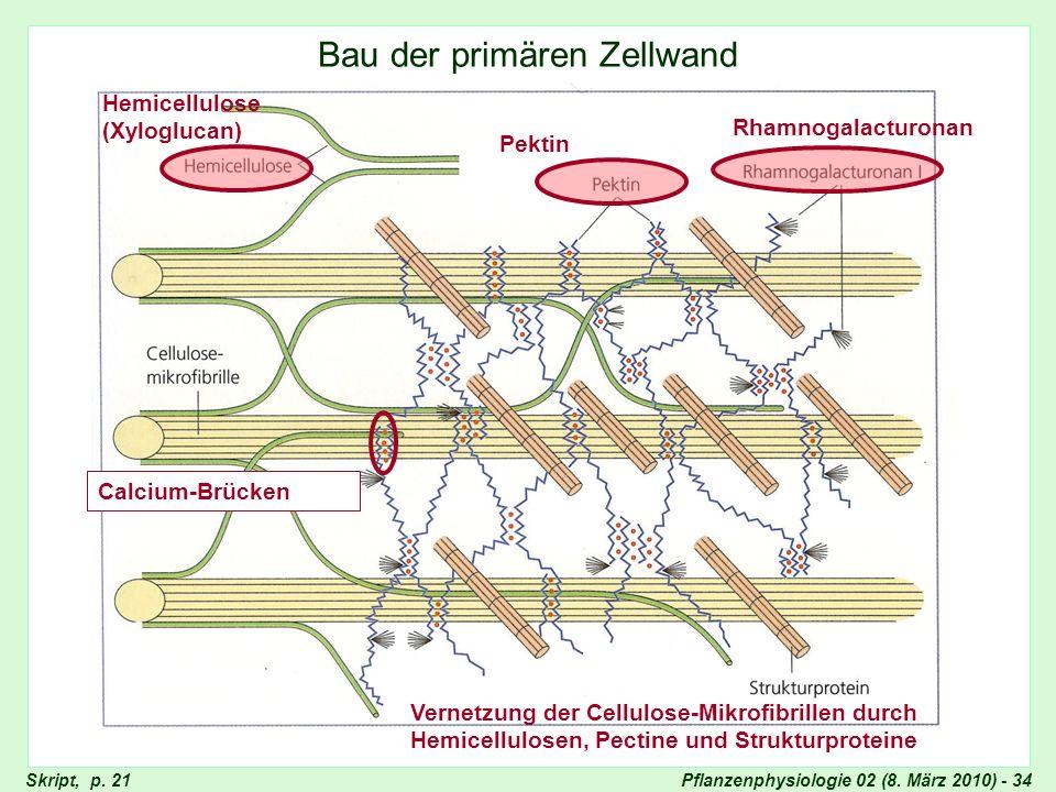 Bau der primären Zellwand
