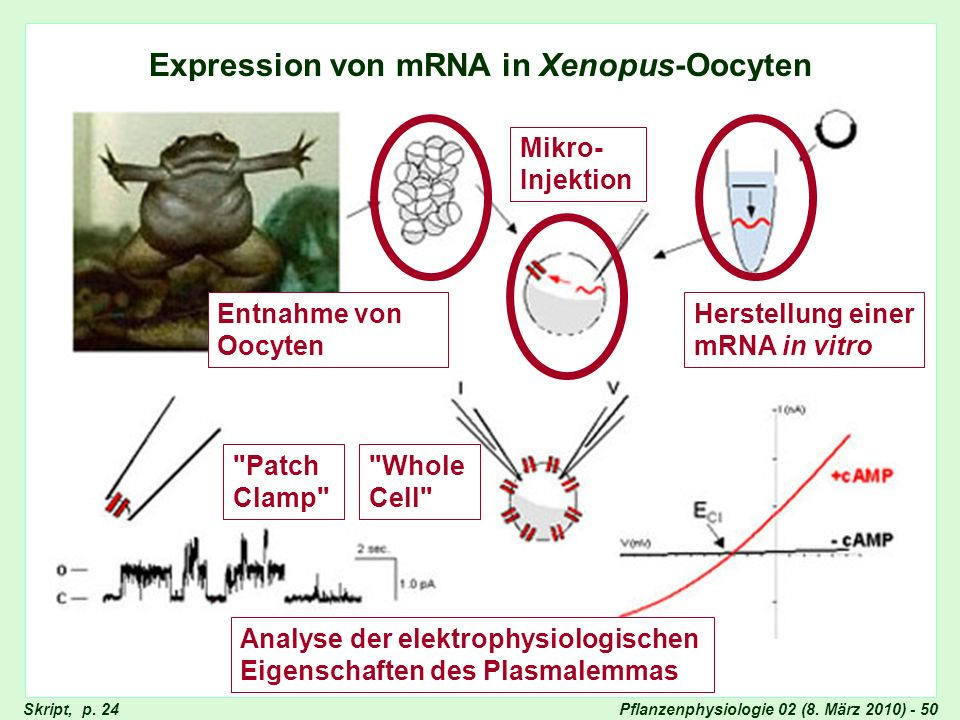 Expression von mRNA in Xenopus-Oocyten (2)