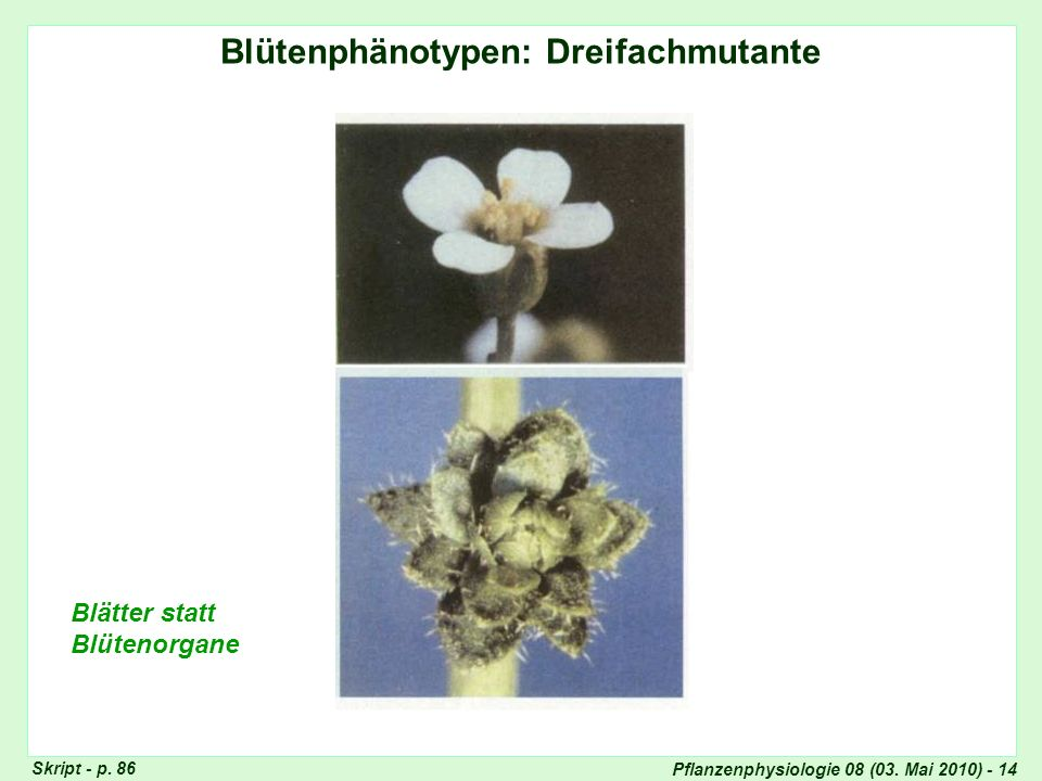 Blütenphänotypen: Dreifachmutante