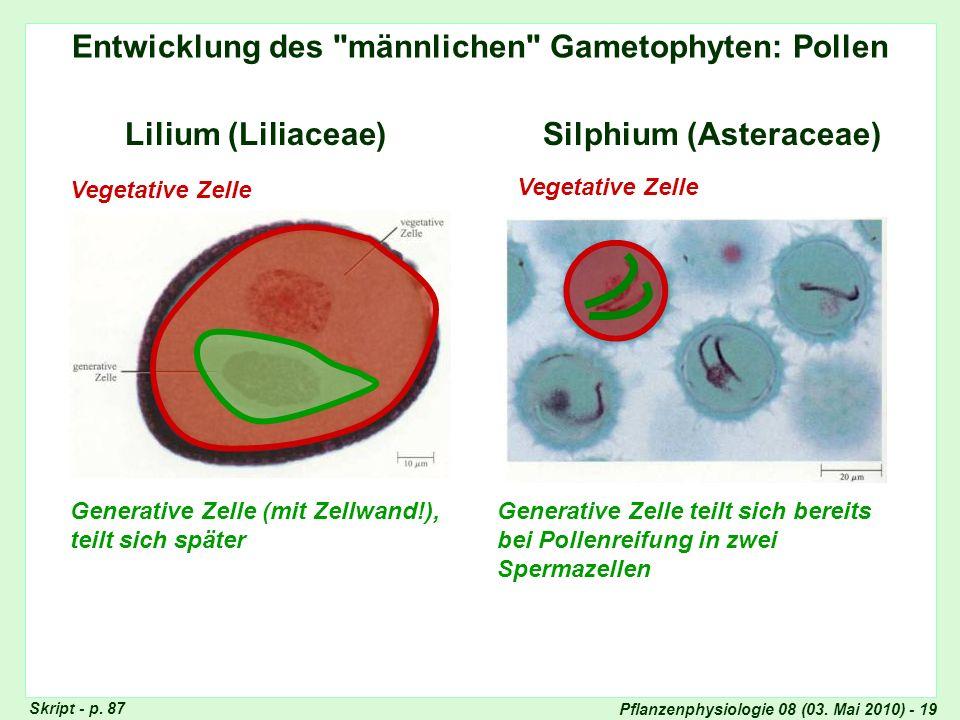Entwicklung des männlichen Gametophyten: Pollen