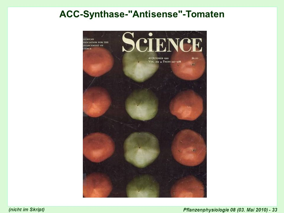 ACC-Synthase- Antisense -Tomaten