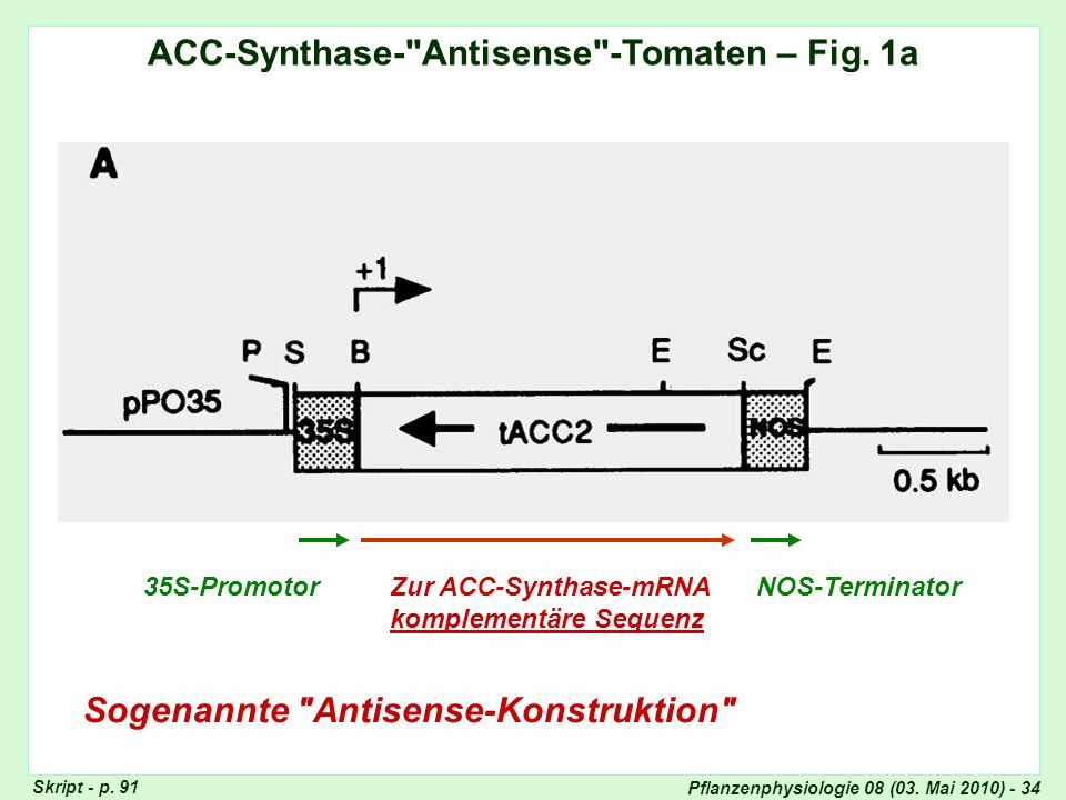 ACC-Synthase- Antisense -Tomaten – Fig. 1a