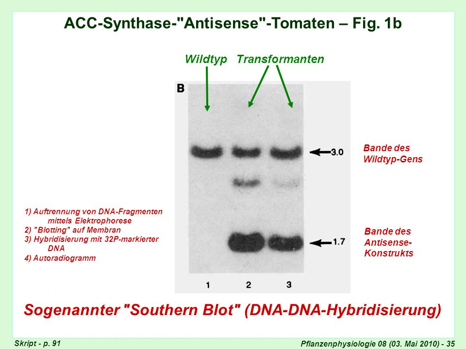 ACC-Synthase- Antisense -Tomaten – Fig. 1b