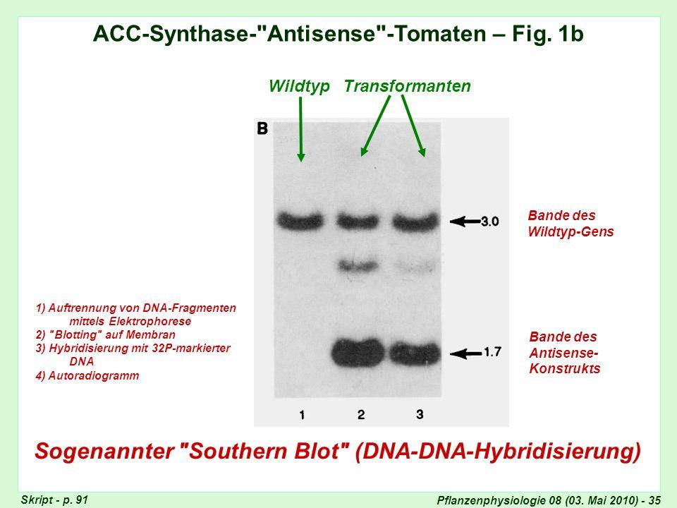 ACC-Synthase- Antisense -Tomaten – Fig. 1b