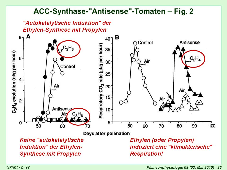ACC-Synthase- Antisense -Tomaten – Fig. 2