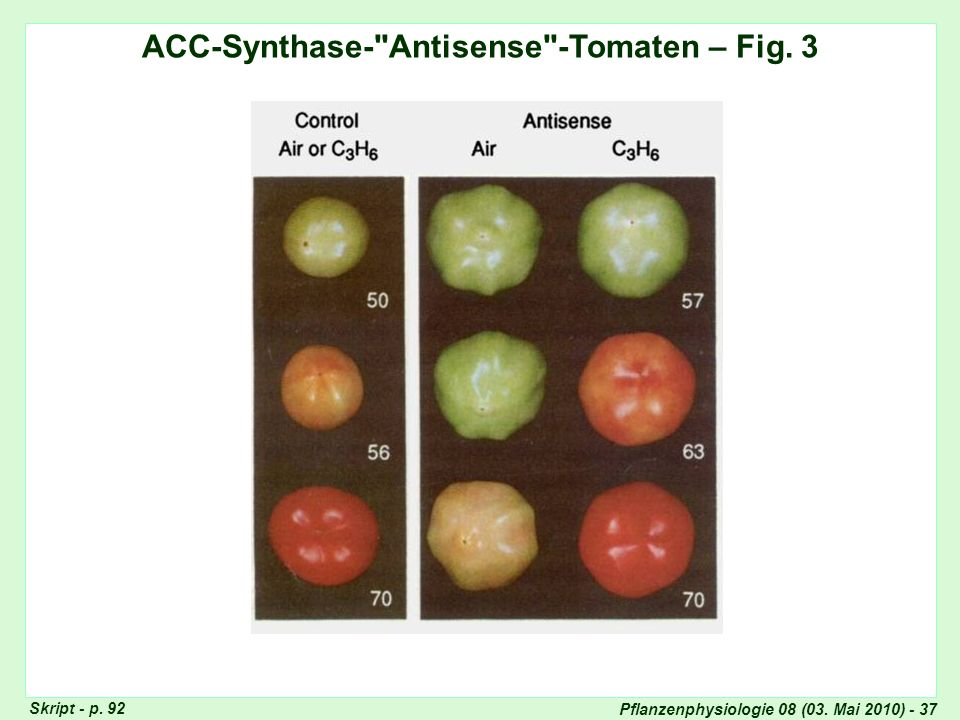 ACC-Synthase- Antisense -Tomaten – Fig. 3