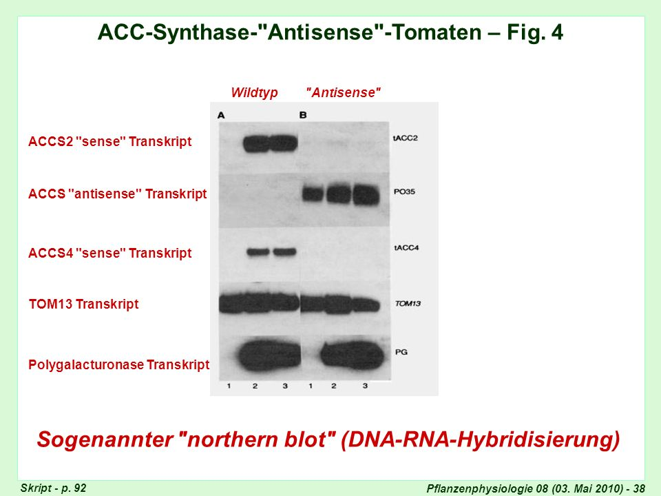ACC-Synthase- Antisense -Tomaten – Fig. 4