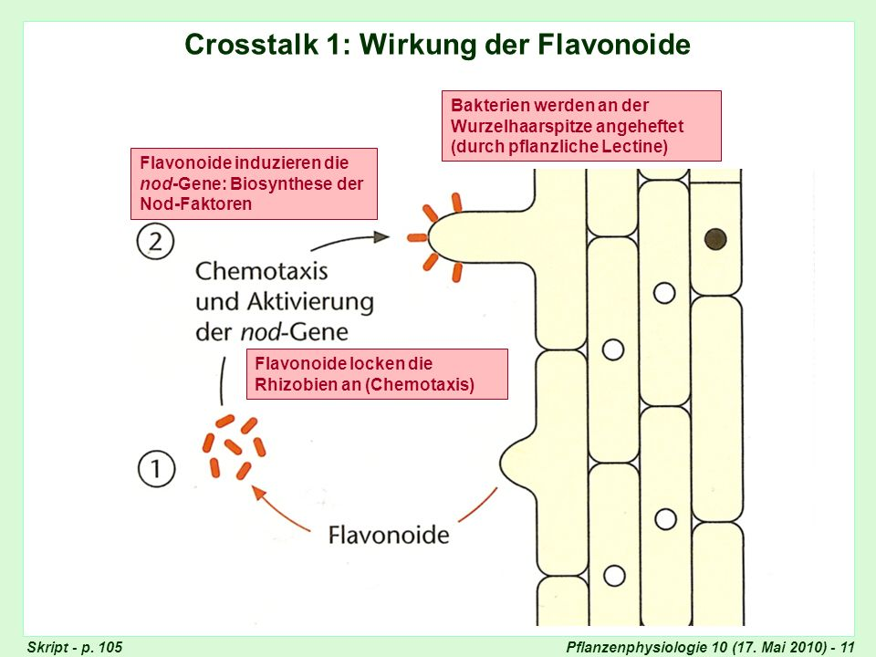 Crosstalk 1: Wirkung der Flavonoide