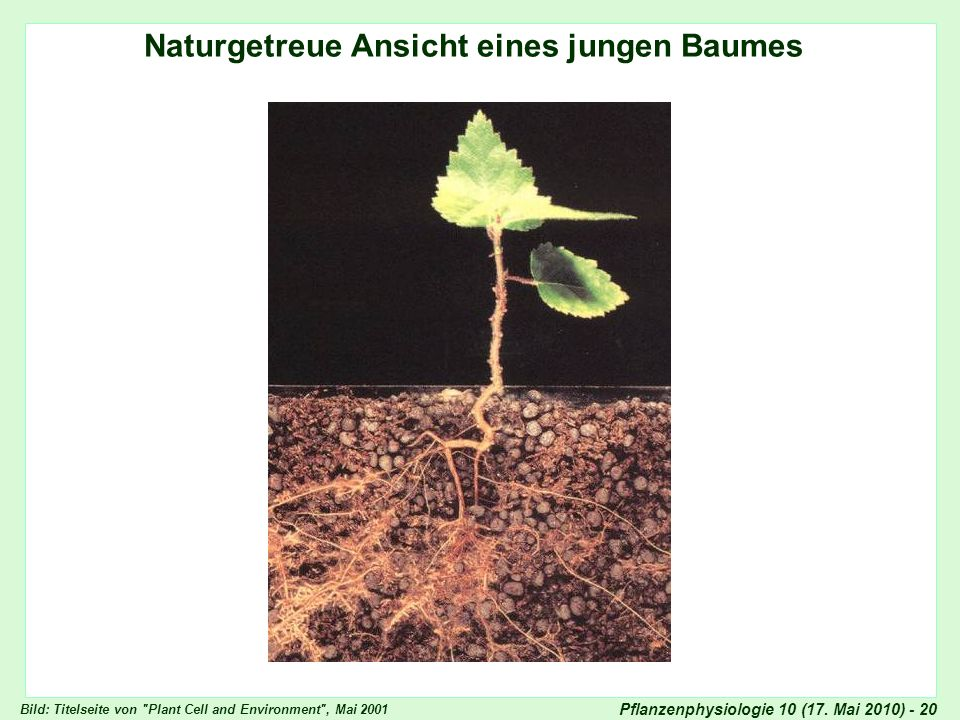 Naturgetreue Ansicht eines jungen Baumes (I)