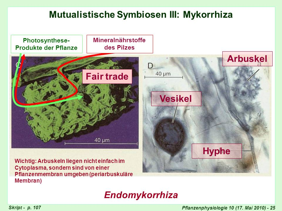 Schema der Endomykorrhiza