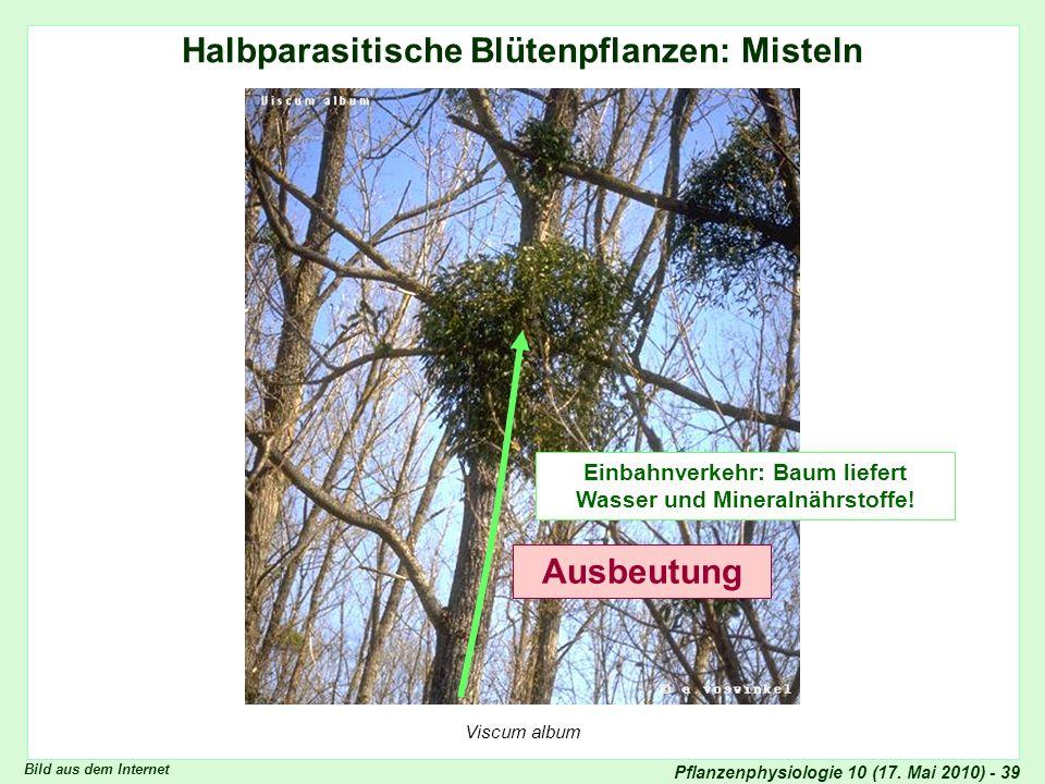 Halbparasitische Blütenpflanzen: Misteln