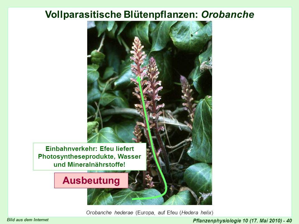 Vollparasitische Blütenpflanzen: Orobanche