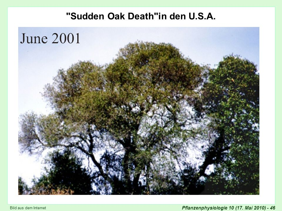 Sudden Oak Death in den U.S.A.